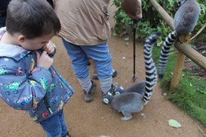 Cotswold wildlife park Lemurs