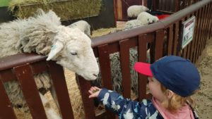 Feeding the sheep at Hatton country world