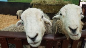 Hatton sheep