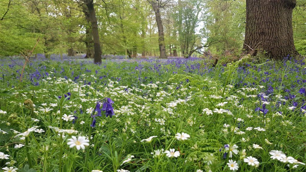 Harcourt arboretum bluebell woods
