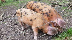 Harcourt Arboretum pigs