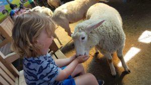 Sheep Feeding time