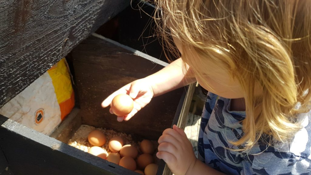Collecting the chicken eggs
