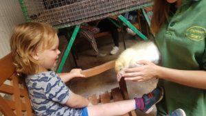 Strocking the Goslings at farmer Gows