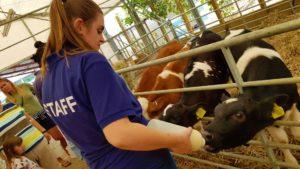feedin the calves