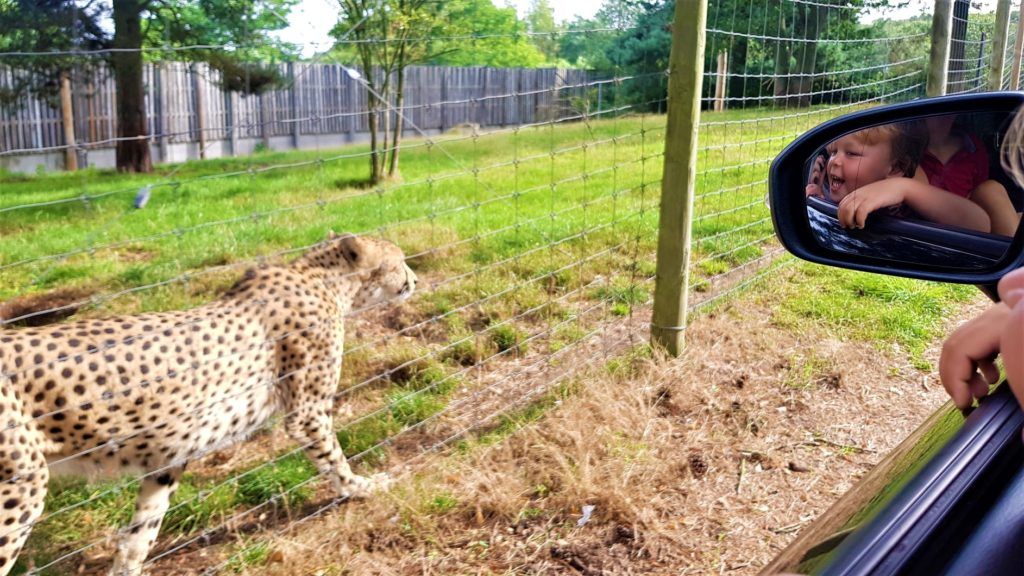 Cheetah walking alongside the car