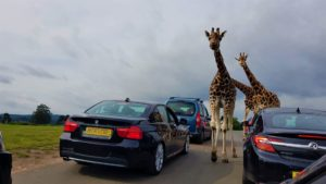 Giraffes at west midland safari park
