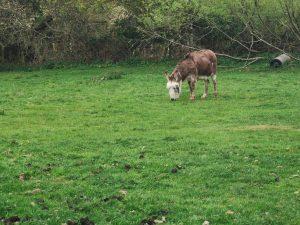 Launton Donkey