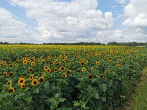 Sunflower Fields Milton Keynes