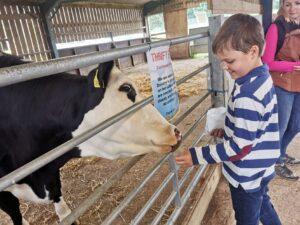 Feeding the cows at Thrift farm